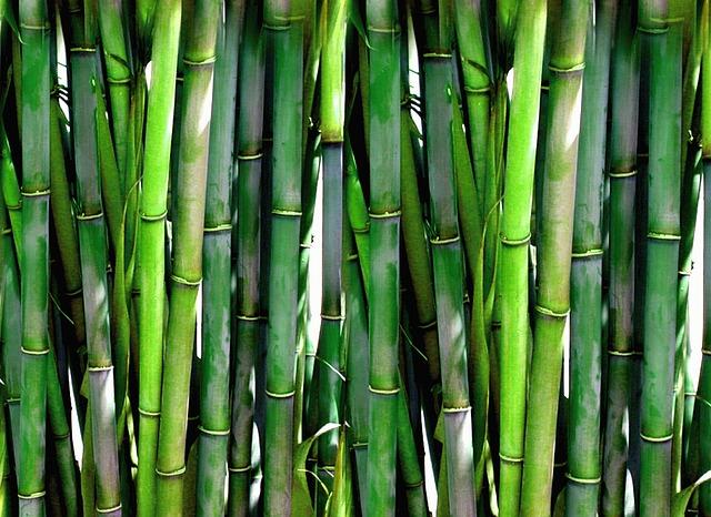 Cultiver le bambou